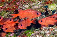 Panamic soldierfish, Myripristis leiognathus, Baja California, Mexico, Gulf of California, Sea of Cortez, Pacific Ocean