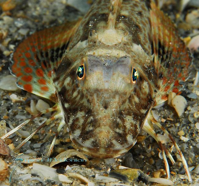 Leopard Sea Robin, Prionotus scitulus
