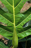 Amazon, Brazil. Indented margin rainforest leaf.