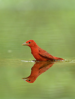 Summer Tanager (Piranga rubra), male, Hill Country, Texas, USA
