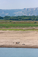 Myanmar, Burma, near Bagan.  Plowing the River Banks of the Ayeyarwady (Irrawaddy) River as Water Recedes after the Rainy Season.
