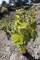 Zypern (Süd), Weinreben im Troodos-Gebirge