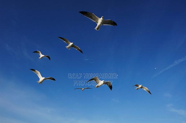 Laughing Gull (Larus atricilla), adults in flight, Port Aransas, Mustang Island, Texas Coast, USA