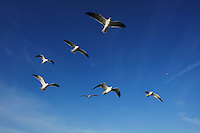 Laughing Gull (Larus atricilla), adults in flight, Port Aransas, Mustang Island, Texas Coast, USA