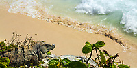 Black spiny-tailed iguana portrait, sunbathing above a white sand beach and the Caribbean Sea, in the famous, pre-Columbian Tulum Mayan ruins, Mexico