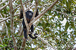 Male Black Howler Monkey (Alouatta caraya)(family Atelidae) resting in riverine forest canopy. Tributary of Cuiaba River, Mato Grosso, Pantanal, Brazil. September.