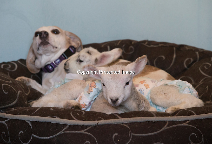 """21/04/15<br /> <br /> Draughtsman lies back to the the young lambs warm up on him.<br /> <br /> Two 'sheep dogs' are helping to pamper three orphaned lambs who think the dogs are their mum.<br /> <br /> The three orphaned  lambs, who wear nappies so they can have the run-of-the-house, like to snuggle up to the dogs and share their bed with them in the kitchen by the stove.<br /> <br /> Piper, an 11-year-old rhodesian ridgeback-cross and Draughtsman, an eight-year-old ex-hunting beagle, take turns looking after the week-old lambs who often try to suckle from their doting canine 'parents'.<br /> <br /> Melissa Ebbatson, 21, said: """"These three were quite poorly, so we brought them inside so we could look after them better and give them a bit more warmth. We put them in nappies so they don't make a mess in the house.  One of the dogs was having a snooze on his bed and the lambs just jumped in and joined him. And they've all become inseparable since then.<br /> <br /> """"The dogs like to clean the lambs' faces after they've had their bottles. And they enjoying romping around the place with them,"""" said Melissa who helps to run Crossgates Farm, with her family near Tideswell in the Derbyshire Peak District.<br /> <br /> """"They seem to really care about them and go straight to them if they start bleating – they even come to find us if they think they're hungry.<br /> <br /> """"We change their nappies at least four-times-a-day - the baby boys even need to wear two!<br /> <br /> """"They are between seven and eight days old, and we hope to get them living back outside again when they are strong enough in another ten days or so – that's as long as the dogs let us!<br /> <br /> """"We're probably all a bit bonkers here but it all seems normal to us"""", she added.<br /> <br /> All Rights Reserved: F Stop Press Ltd. +44(0)1335 418629   www.fstoppress.com."""