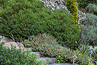 Veronica (Hebe) odora 'New Zealand Gold' (large green shrub) with Veronica (Hebe) glaucophyllus, Elisabeth Miller Botanical Garden, The Dry Bank