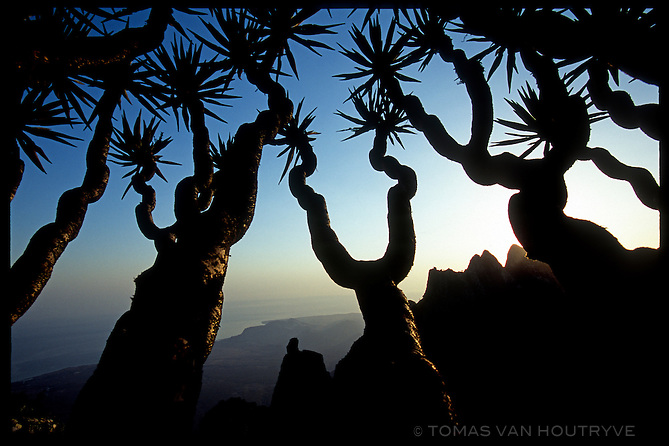 Granite peaks are seen through the branches of a Dragon's Blood Tree (Dracaena cinnabari) in the Skund mountains on the island of Socotra, Yemen on Wednesday, 25 May 2005.<br />