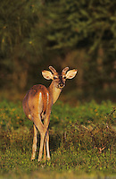 White-tailed Deer, Odocoileus virginianus, buck, Willacy County, Rio Grande Valley, Texas, USA, May 2004