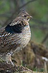 Ruffed grouse (Bonasa umbellus) portrait