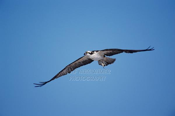 Osprey, Pandion haliaetus, adult in flight, Sanibel Island, Florida, USA, Dezember 1998