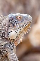 A male green iguana, Iguana iguana, Bonaire, Netherlands Antilles, Caribbean Sea, Atlantic Ocean