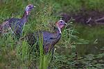 Eastern wild turkeys on the shoreline of a wilderness lake in northern Wisconsin.