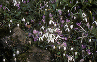 Crocus and Snowdrops (Galanthus) naturalized together in spring, Crocus tommasinianus, Galanthus nivalis