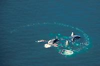 humpback whales, Megaptera novaeangliae, bubble net feeding, aerial sequence, Lynn Canal, Alaska, USA, Pacific Ocean