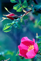 V00040.tiff   Wild rose (rosa nutkana). Near Monroe, Oregon