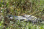 Brazoria County, Damon, Texas; a close up headshot of a large, adult American Alligator (Alligator mississippiensis) warming itself in the sun, while resting on the bank of the slough
