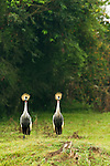 Grey Crowned Crane (Balearica regulorum) pair, Bigodi Wetland Sanctuary, Magombe Swamp, western Uganda
