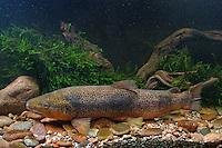 Meerforelle, Meer-Forelle, Küstenforelle, Forelle, Salmo trutta trutta, sea trout