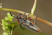 Rotpunktierter Walzenhalsbock, Phytoecia rubropunctata, Musaria rubropunctata