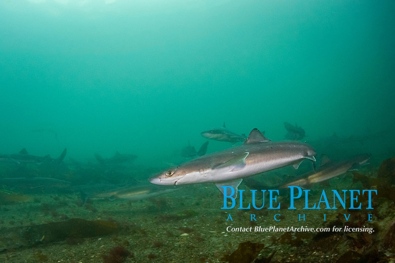 spiny dogfish, piked dogfish, spurdogs, or dog sharks, Squalus acanthias, Quadra Island, off Vancouver Island, British Columbia, Canada (Discovery Passage, North Pacific Ocean)