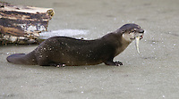 River Otter eating a fish on a frozen pond - CA