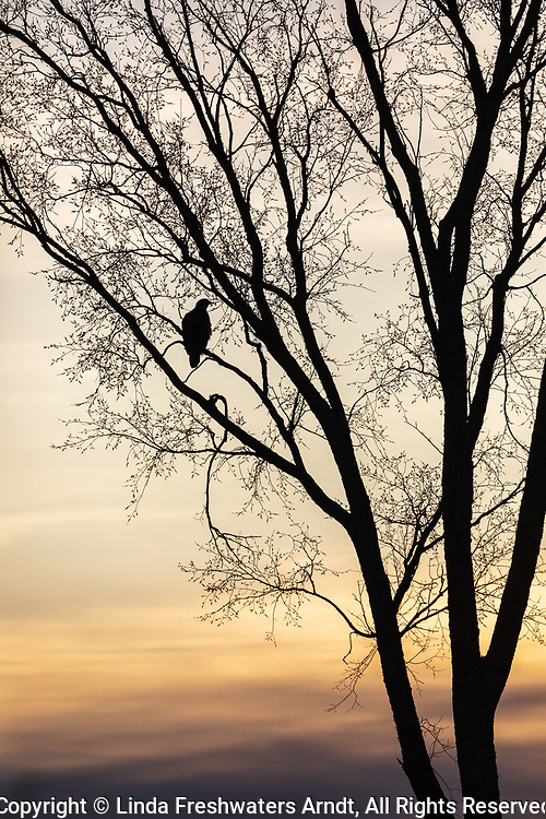 Silhouette of an immature bald eagle in a budding tree.