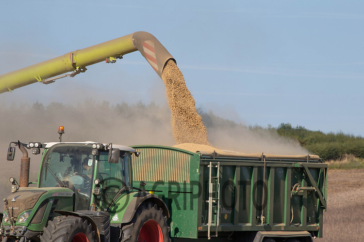 25-8-2021 Harvesting beans in Rutland <br /> ©Tim Scrivener Photographer 07850 303986<br />      ....Covering Agriculture In The UK....