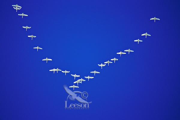 B6564  Trumpeter Swans migrating.  Western U.S.  November.