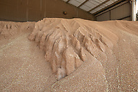 Wheat harvested wet and temprarily stored waiting drying - Lincolnshire, August