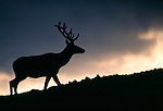 A silhouetted bull American elk (Cervus elaphus) along Trail Ridge in Rocky Mountain National Park, CO