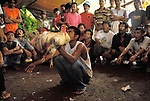 Bali cock fighting Indonesia  Group of men in rural community gambling of cockerel fighting match. Lovina. Island of Bali 2000s.
