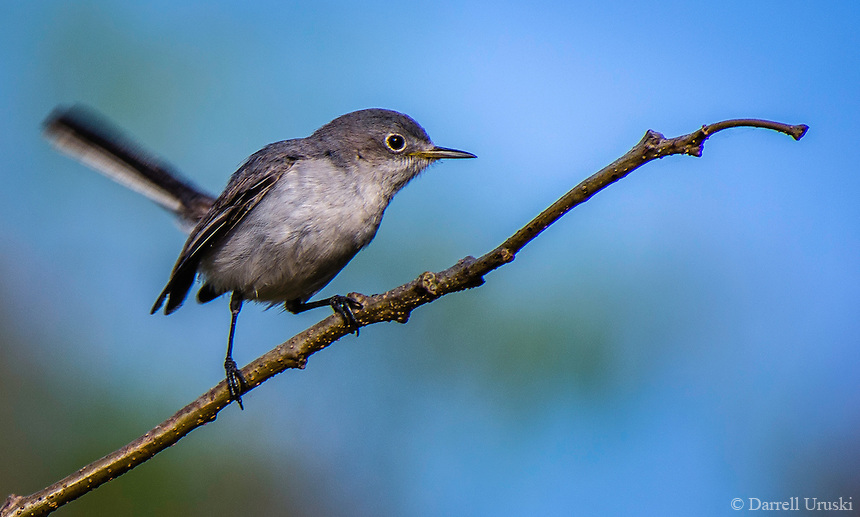 Nature Photography of a Bird sitting on a branch. The species of bird is called a Least Flycatcher. The photograph was taken in Puerto Vallarta, Mexico.