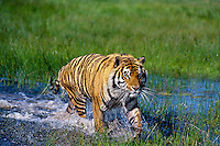 Bengal tiger (Panthera tigris) wading through shallow wetlands.