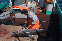 crew member of longline vessel removes fins from porbeagle shark, Lamna nasus, in a legal and managed fishery; fins and carcasses are landed separately, but must be equivalent in number; Nova Scotia, Canada (North Atlantic Ocean)