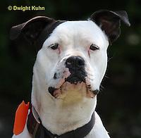 SH40-634z  American Bulldog, Close-up of face,  Canis lupus familiaris