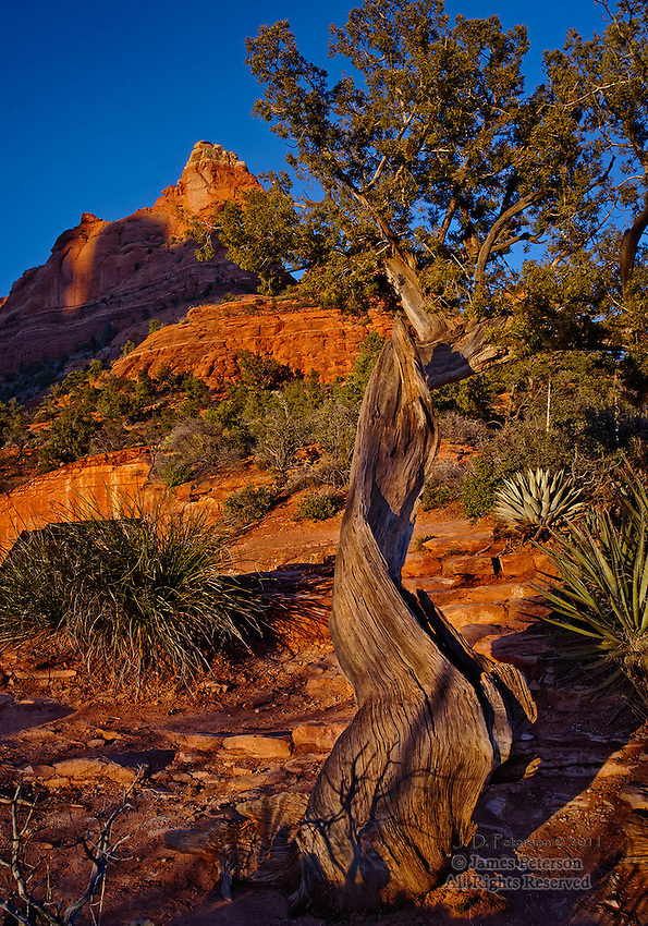 Juniper Tree near Soldier's Pass, Arizona.  Available in sizes up to 30 x 45 inches.