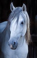 Grey Lusitano stallion portrait