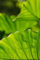 A close-up of taro or kalo leaves, Waimea, O'ahu.