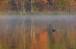 Pied-billed grebe swimming on a misty autumn lake in northern Wisconsin.