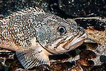 blackbelly rosefish, sitting on bottom, medium shot facing right