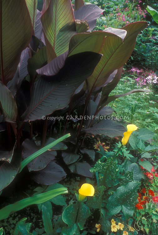 Purple leaved Canna with spotted Zantedeschia yellow Calla lilies, purple dark foliage, tropical plants in garden bed combination