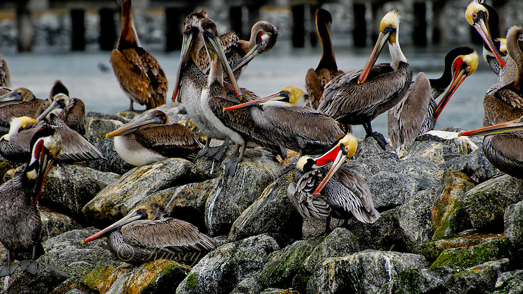 Gathering of California Brown Pelicans in winter plumage at Moss Landing.