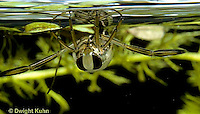 BC01-006z  Backswimmer - in fresh water pond