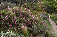 Cistus x purpureus, Orchid Rockrose flowering shrub at Blake Garden (Kensington, California) summer-dry mixed border on hill