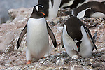Two Gentoo penguins at their nest in Neumayer Channel, Antarctica.