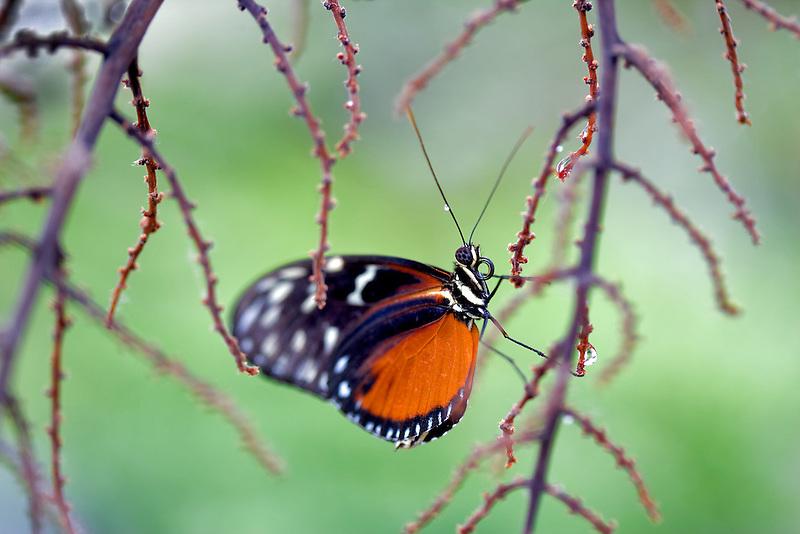 Golden helicon butterflies. (Helicomius hecale). Portland Zoo, Oregonm