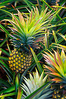 Close-up of pineapple plants still in the field at Dole Pineapple in Wahiawa, Island of Oahu