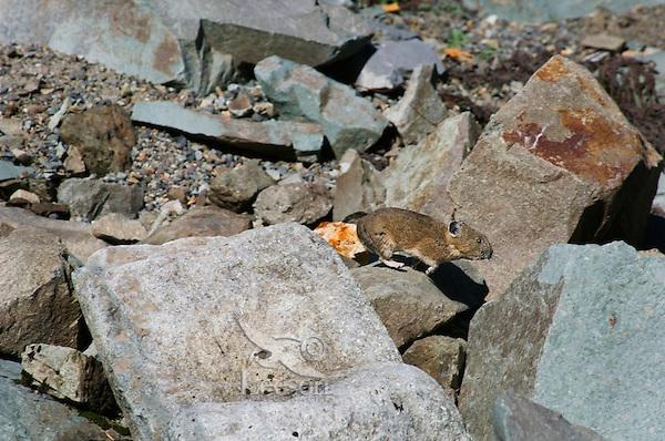 Pika (Ochotona princeps) running through alpine rock pile.  Pacific Northwest.  Summer.